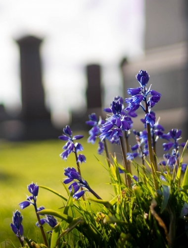 Bluebells in church graveyard, NW Scotland